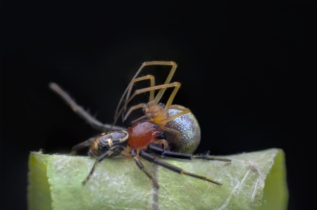 devour: spider devour another spider on night macro Stock Photo