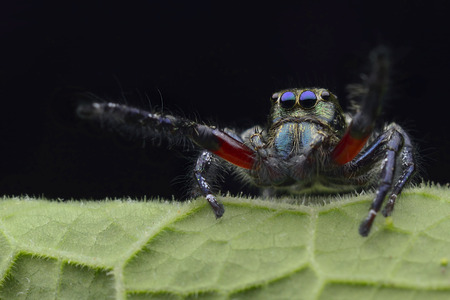 salticidae: Family Salticidae - Jumping Spiders