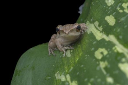 Tree Frog, Polypedates leucomystax on leaf at the night photo