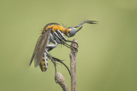 Huncback fly bee holding on for dear life at the branch photo