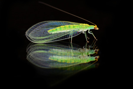chrysopidae: Green lacewings - family Chrysopidae on the mirror