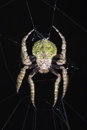 araneidae: Family Araneidae, Orb-Web Spiders on net