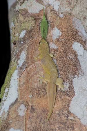 excrete: Gecko  possibly Cyrtodactylus payacola  enjoying free flow honeydew excrete from a lantern bugs Pyrops cultellatus yoshiakii Nagai   Porion Stock Photo