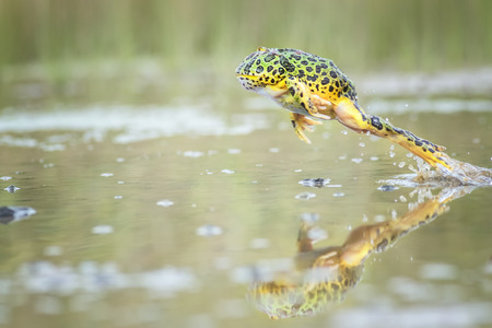red frog: Frog hopping on water surface Stock Photo