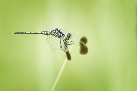 dragonfly resting on the tip of grass photo