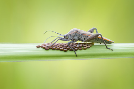 Shield bugs with eggs photo