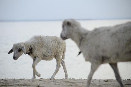 goats walking on the beach