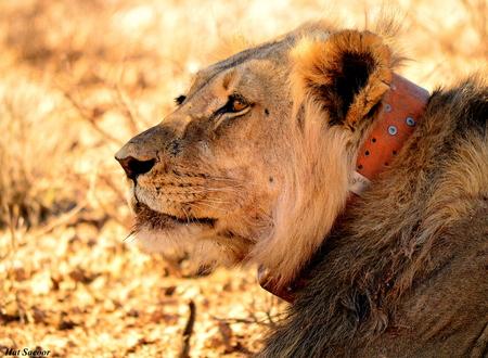 kgalagadi: Kgalagadi lion