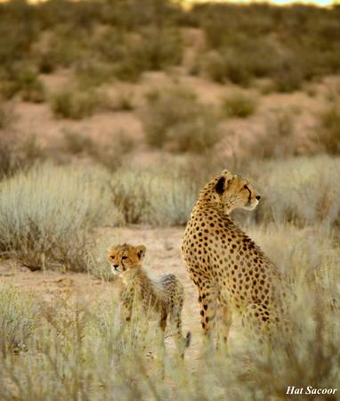 cachorro: Cheetah madre y cachorro