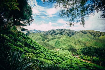 Cameron Bharat Tea Plantation at CAMERON HIGHLAND MALAYSIA