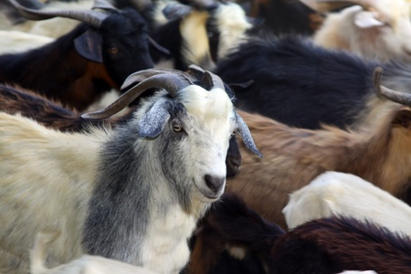 Flock of goats  Stock Photo - 10783826