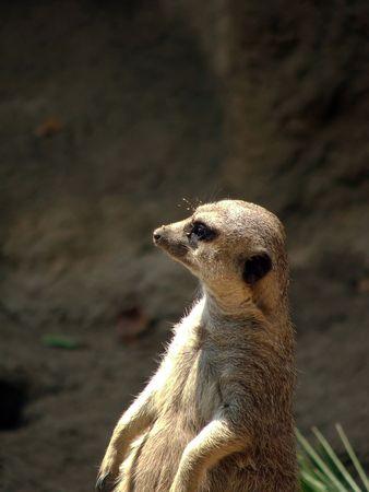 Intent marmot looks round  his estate Stock Photo