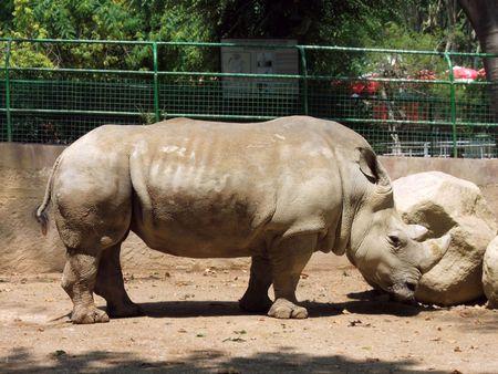 Big rhino thinks  Stock Photo