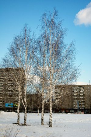 Four birches in the town park. Early spring. Stock Photo