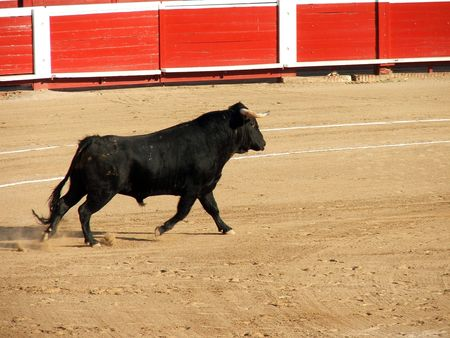 Furious bull knows that he is doomed. This is bullfight.