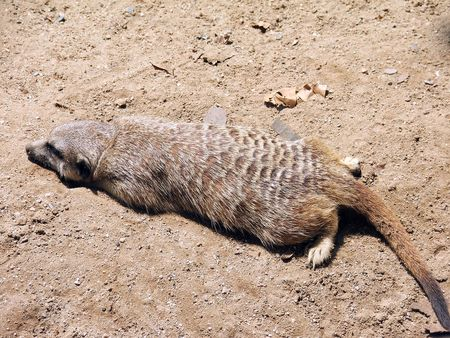 Marmot tired by sunny day made a decision to sleep on the cage sand Stock Photo