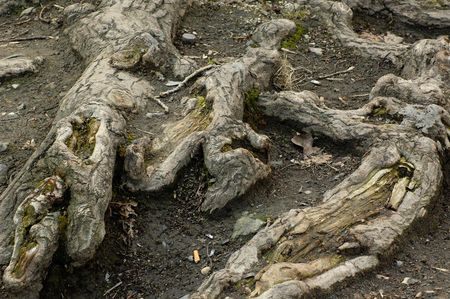 Roots of old poplar strongly enfold arid ground of a city