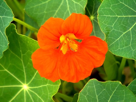 Macro photography of nasturtium flower surrouned with its large leaf