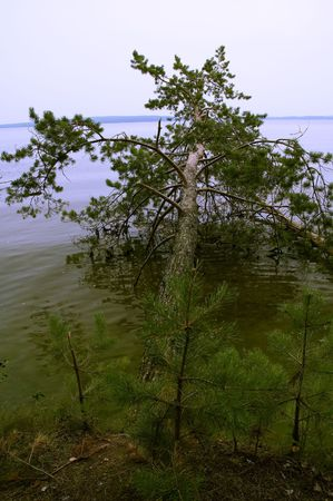 overthrown: View on the overthrown pine-tree lying in green water Stock Photo