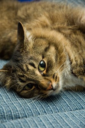 attentiveness: Relaxing Siberian cat looks closely in the camera lens