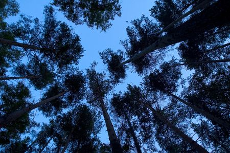 Bottom-up view on pine-trees crowns againts the evening sky