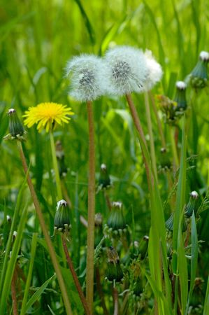 Photo of group of dandelions in the spring city park