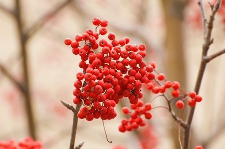 Red ripe ashberry banch is one of the autumn features Stock Photo