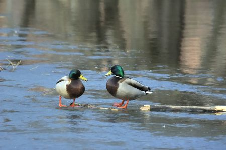 drakes: Two male ducks (drakes) walkin on the lake ice in the spring