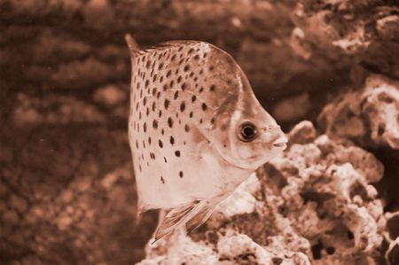Photo of exotic fish toned in sepia photo