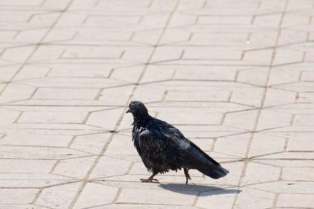 Photo of ordinary urban pigeon walks on pavement with pride photo