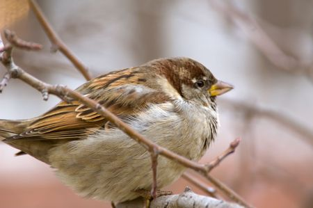 Close-up photo of sparrow ruffled up sitting on tree branch