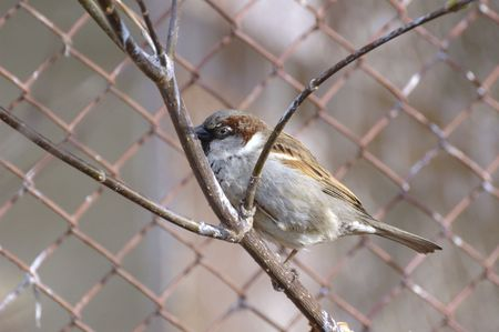 warblers: Photo of sparrow looking out from branches