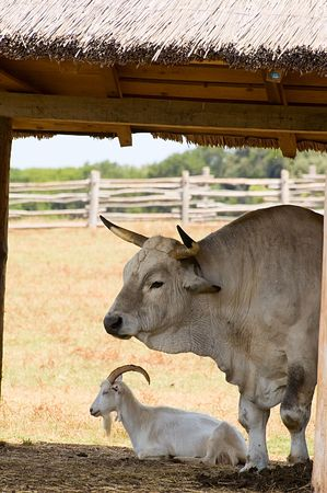 Photo of bug bullock and old goat resting under the shed Stock Photo