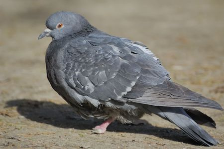 Close-up photo of large grey pigeon sitting on the land Stock Photo - 3428374
