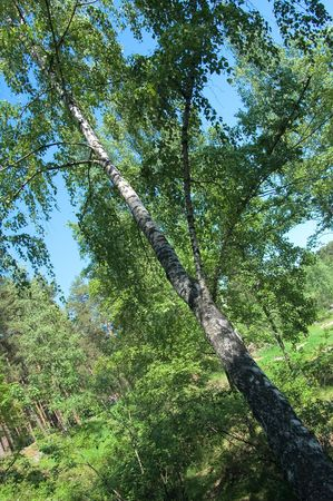 Photo of inclined birch hanging over ravine Stock Photo