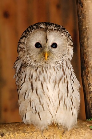 Photo of young long-tail owl