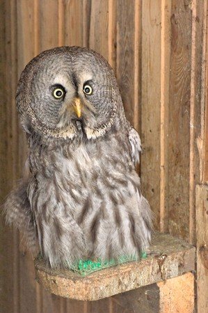 Photo of young beared owl