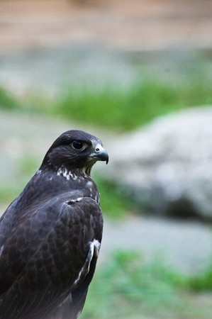 Close-up photo of black falcon Stock Photo - 3987677