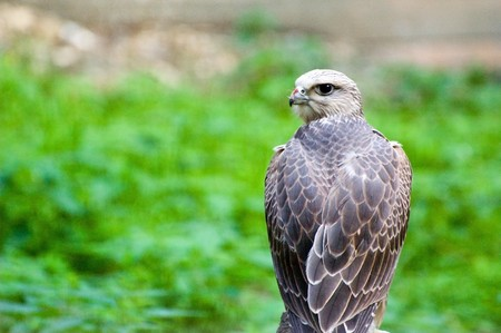 Photo of young gyrfalcon resting after lunch Stock Photo - 3988269