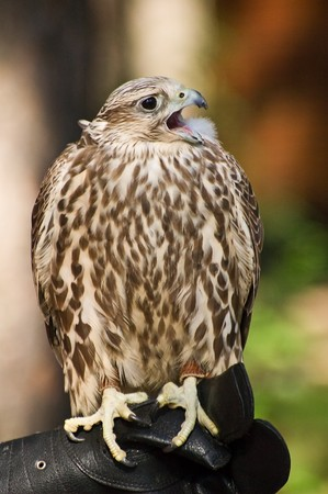Photo of magnificent falcon cherrug sitting at the hunting glove Stock Photo - 3987688