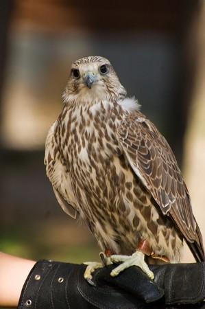 cherrug: Photo of magnificent falcon cherrug sitting at the hunting glove