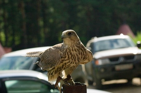 cherrug: Photo of magnificent falcon cherrug sitting at the pipe