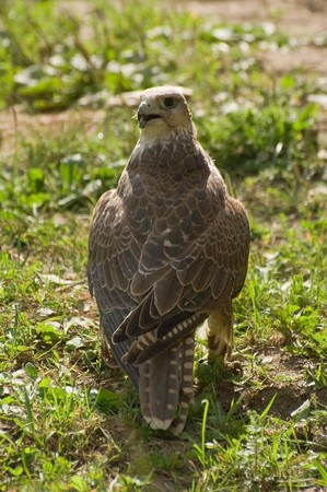 Photo of magnificent falcon cherrug sitting at the pipe Stock Photo - 3988278