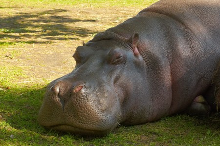 Photo of large hippopotamus living at Kaliningrad Zoo Stock Photo