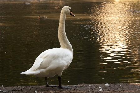 Photo of a swan preparing to swim Stock Photo - 3987690
