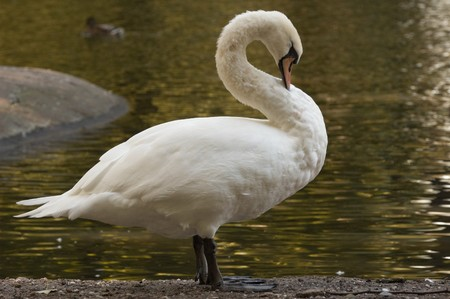 Photo of a swan washing his feathers Stock Photo - 3987693