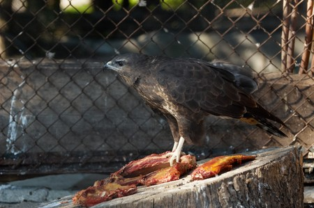 Photo of a buzzard eating a meat at Kaliningrad Zoo Stock Photo - 3988234
