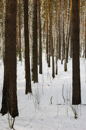 Photo of a ski-track in the winter pine-tree forest