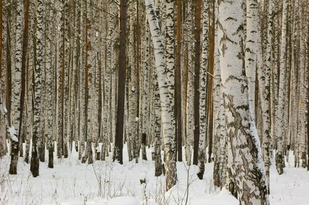Photo of the Russian birches forest in the winter