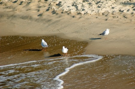 Photo of sea gulls walking at the sand coast of the Baltic sea Stock Photo